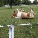 Rücken kratzen auf die Pferdeart