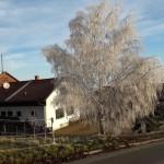 Huch ein weißer Baum